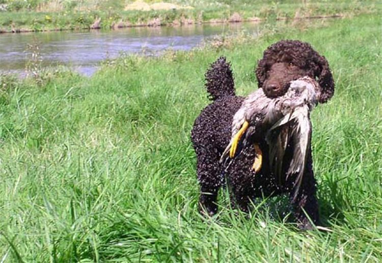 Hunting dogs, standard poodle puppies. Bred to hunt.