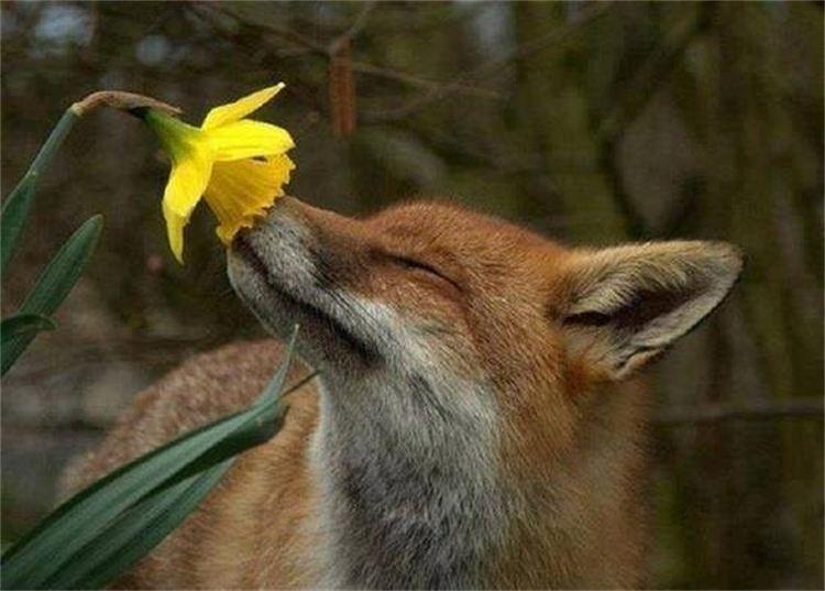 fox in flower living the moment