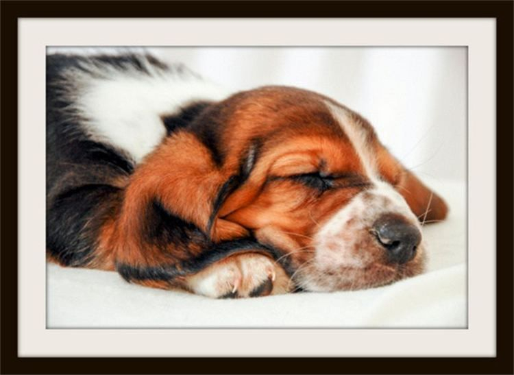 Alex, sleeping Basset Hound