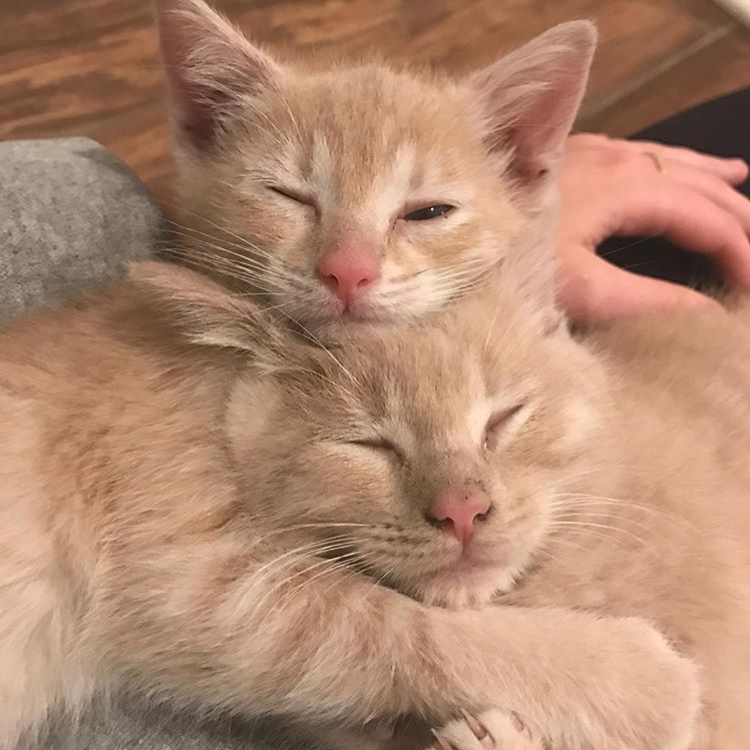 Photo of two gold kittens cuddling together