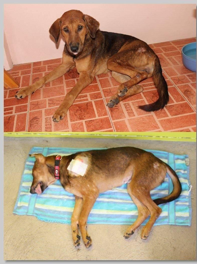hundehilfe thailand kastr. hündin -beow nr. 35 am 30.11.13