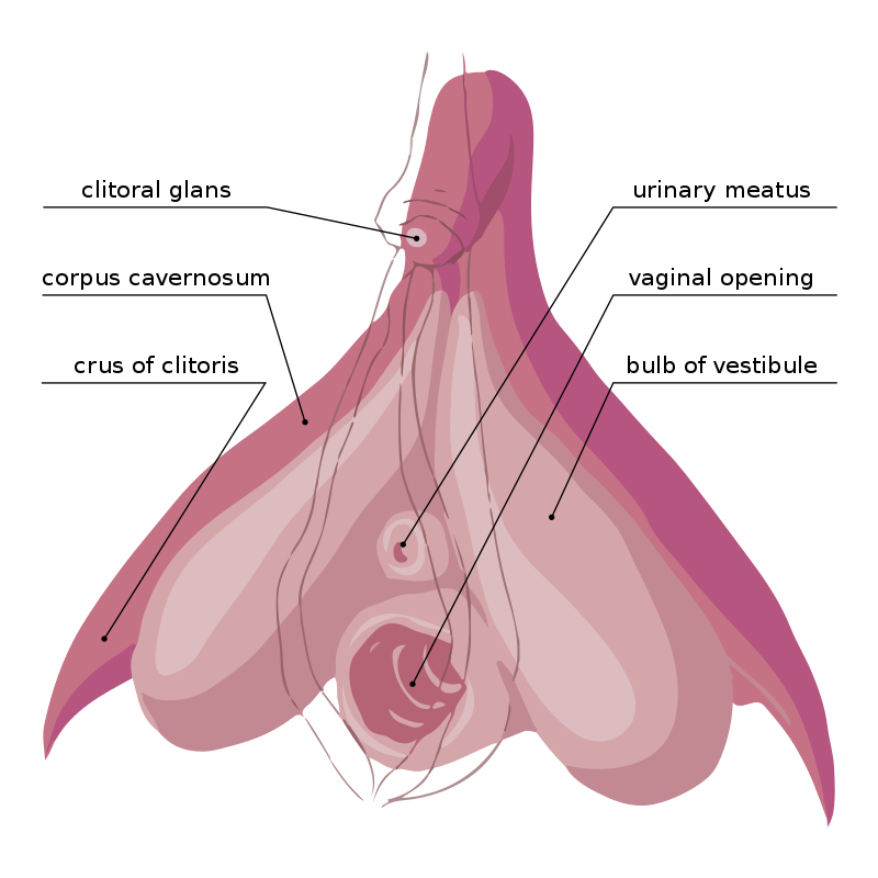 Diagram showing the clitoris head, hood, legs, bulbs, urethra and vaginal opening.