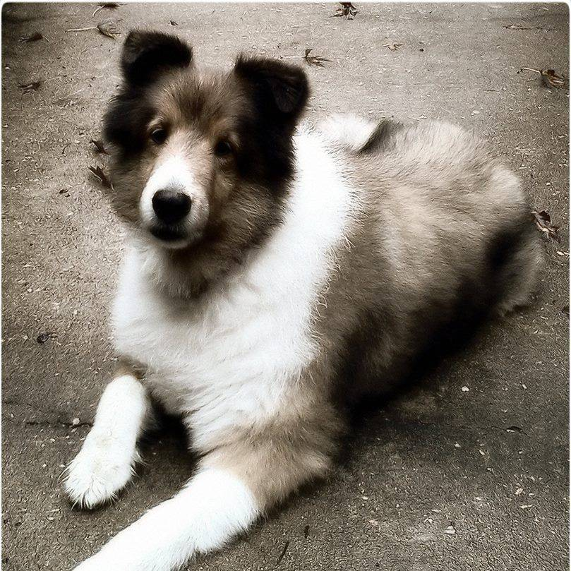 Sheltie, Dog, Pet, Animal