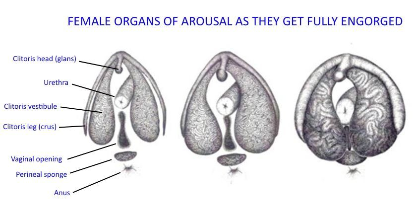 3 images showing female organs of arousal in different states of swelling - the first is unswollen, middle is partially swollen and third is very swollen.