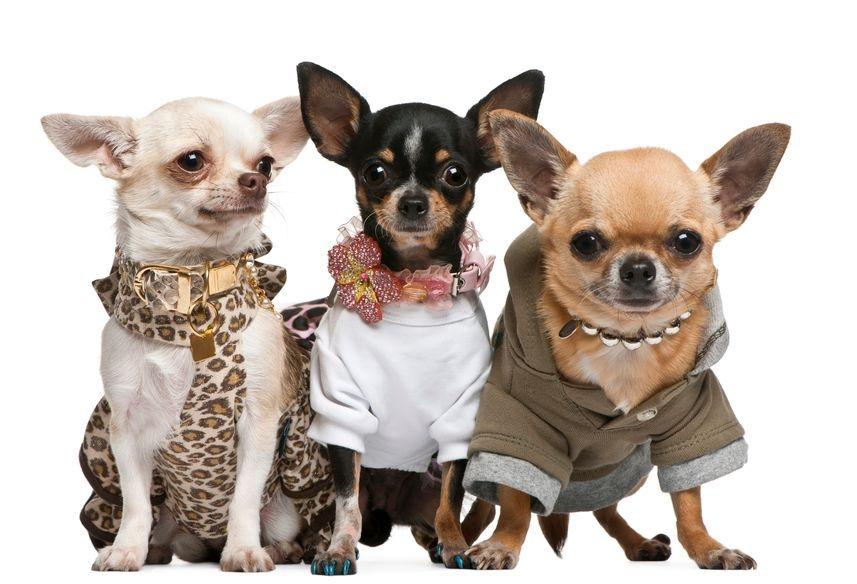 Chihuahua Breeders