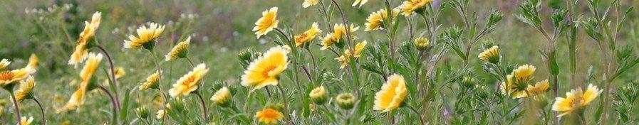 CA Native Wildflowers, Tidy Tips, Layia platyglossa, Native Wildflowers,  Butterfly Garden,  Support Bees