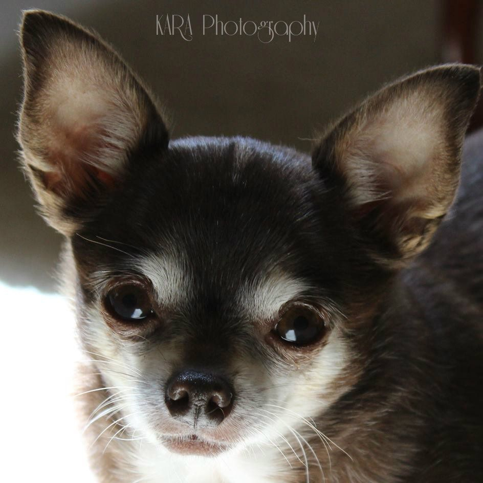 Chihuahua, Dog, Pet, Animal