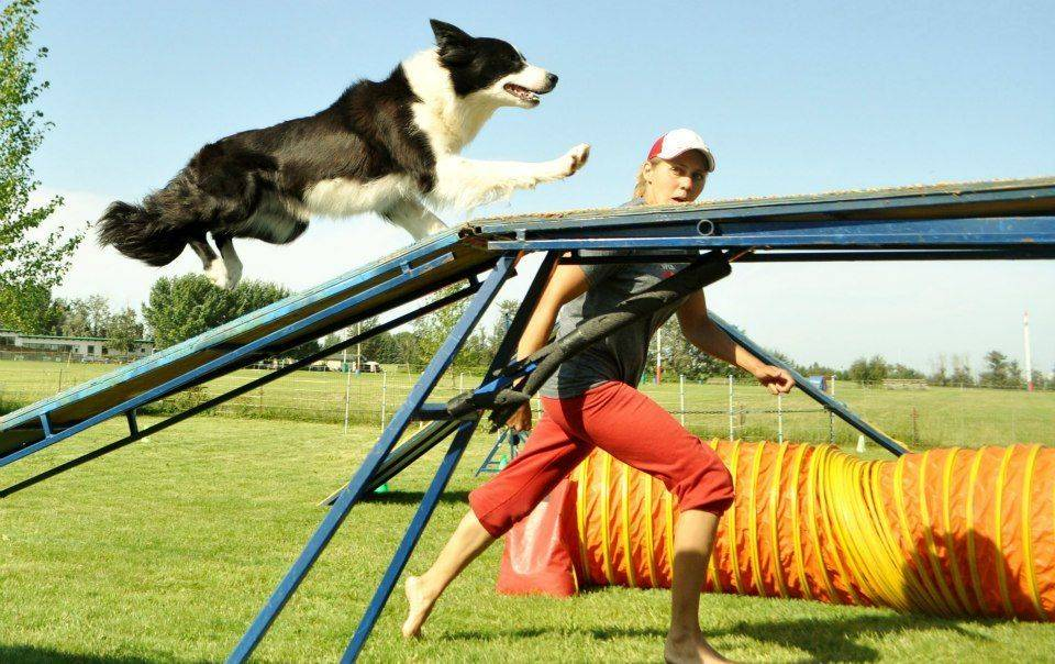 Top Skill K9 dog agility training field, obstacles and fence