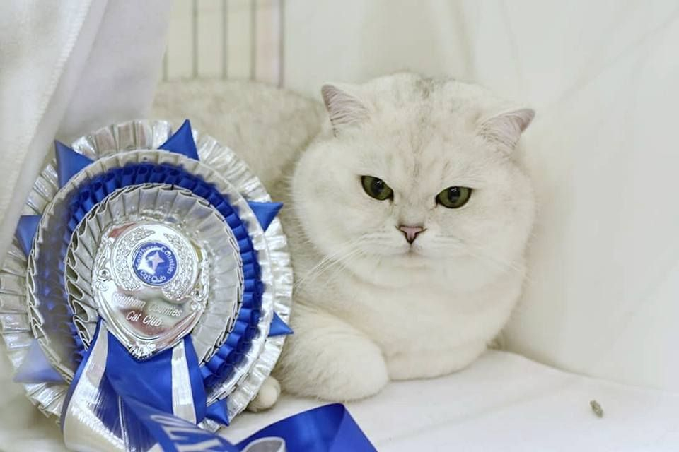 Black Tipped British Shorthair