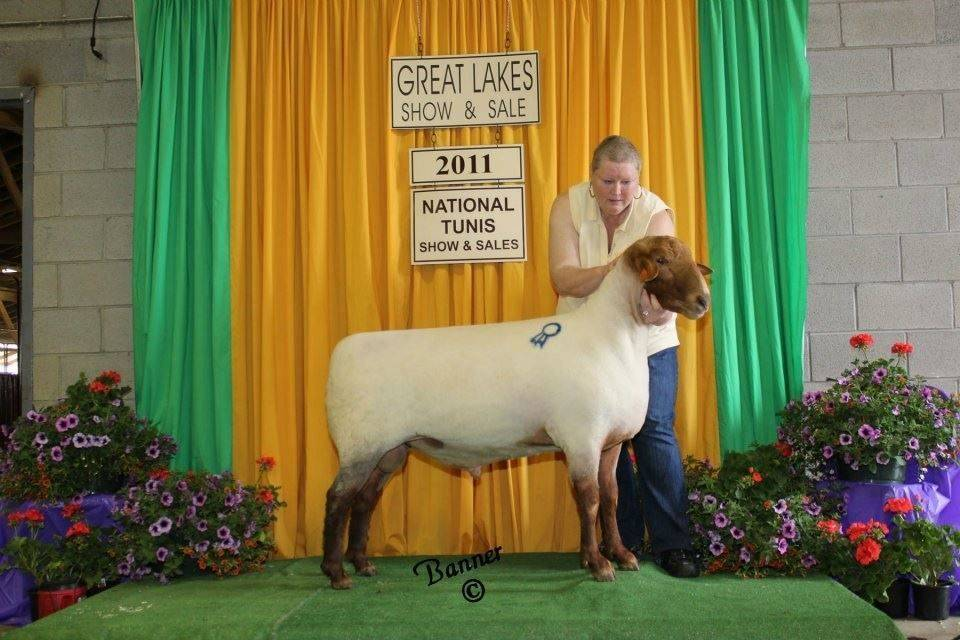 This is one of our current stud bucks.He is an RQL buck that was Reserve National champion ram at the 2011 National sale.