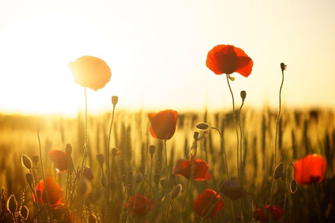 poppyfields, poppies, sunrise, happy