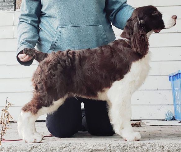 trojh english springer spaniel puppy