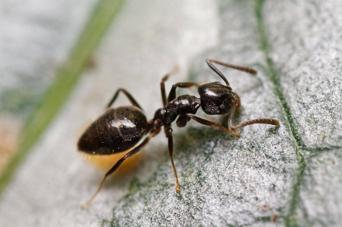 Kirkland Pest Control, Ant Control