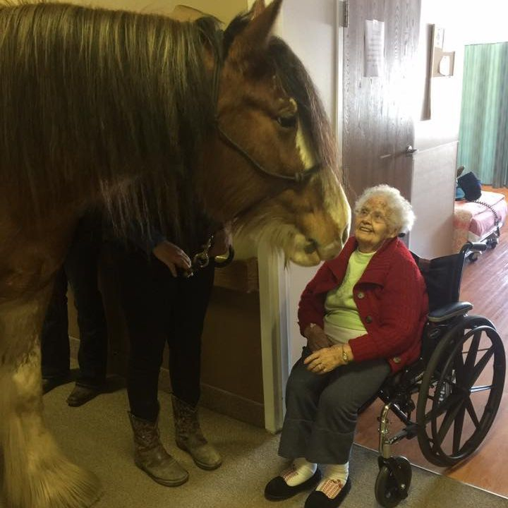 Clydesdale in nursing home