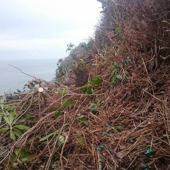 Cut rhododendruns on sea cliffs