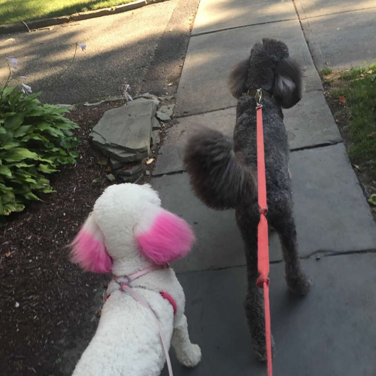 Photo of two poodles, one black and one white with pink dyed ears