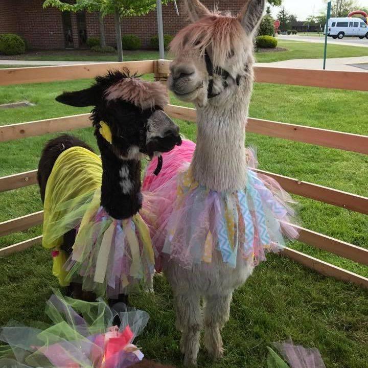 Alpacas dressed in clown costumes