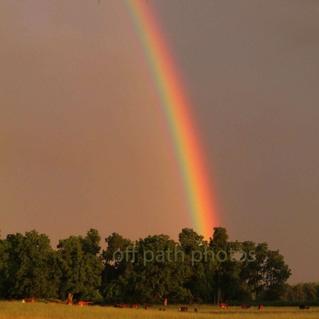 photography, rainbow, cows, field, nature, beautiful, country, light, lucky, blessed