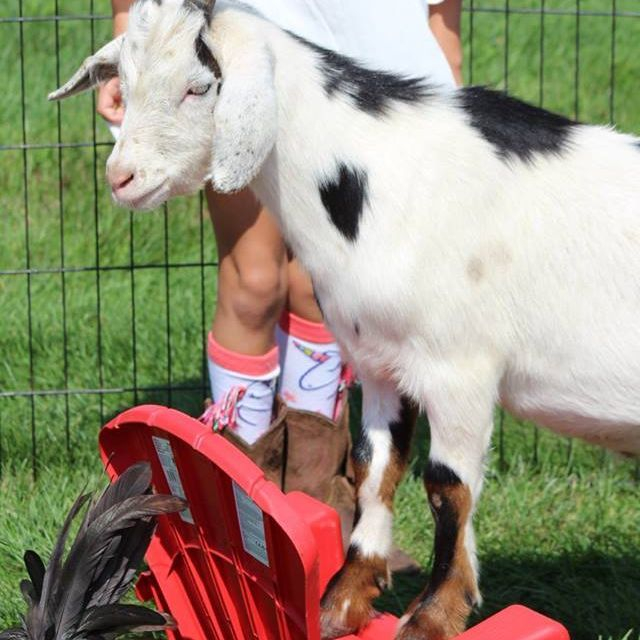 chamberlin pony rides & mobile petting zoo