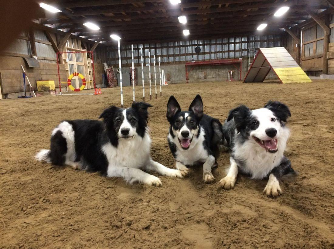 three border collies agility training, indoor facility