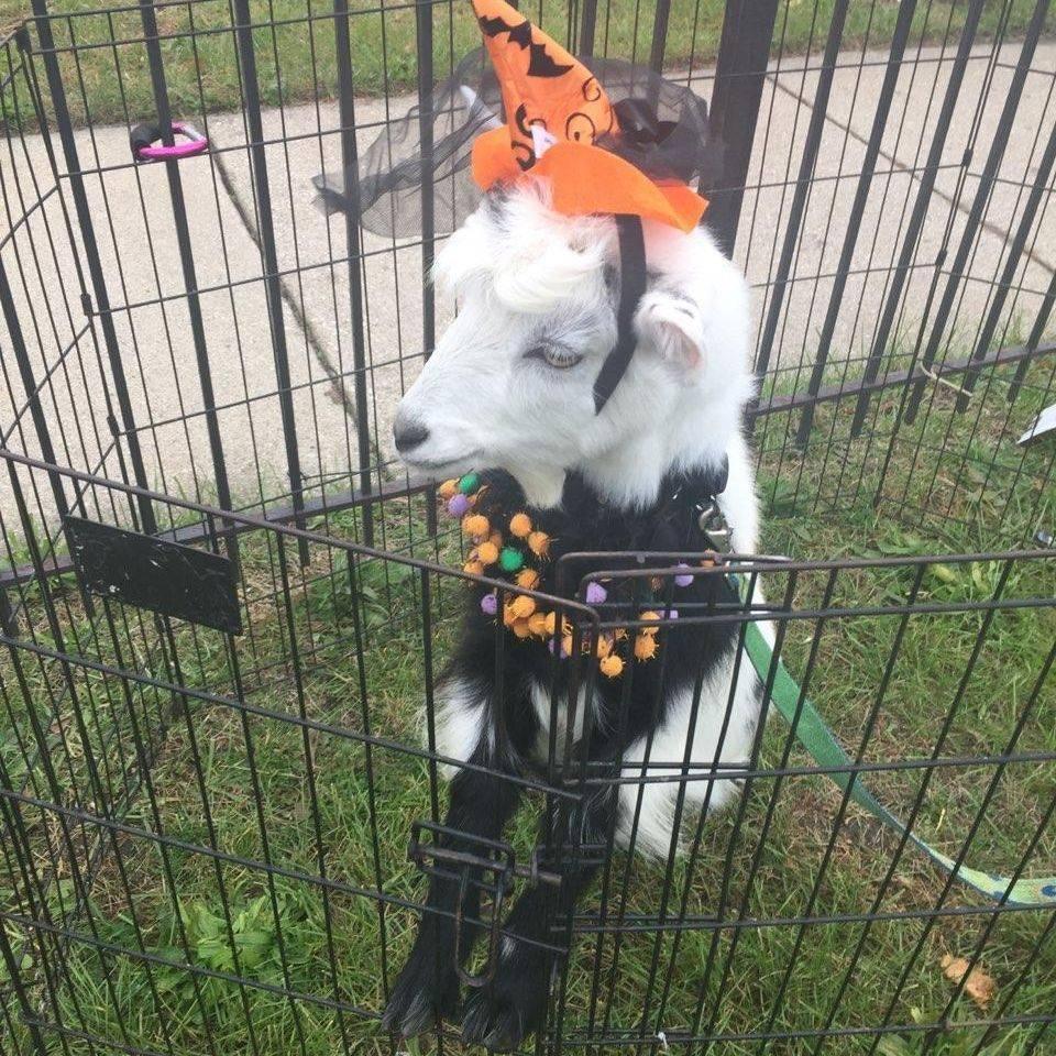 goat wearng a halloween hat