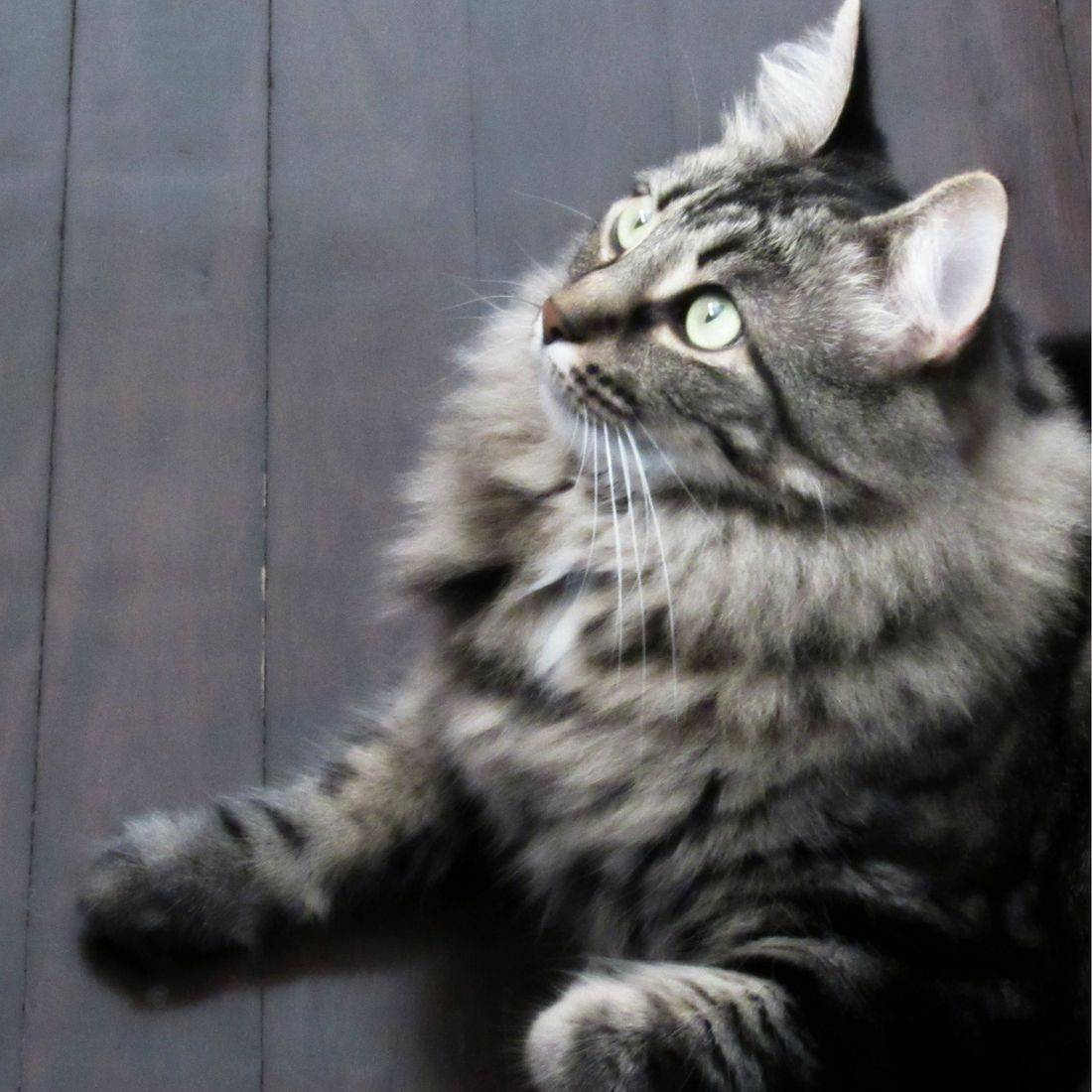 Feline, Cat, Pet, Furry, Maine Coon