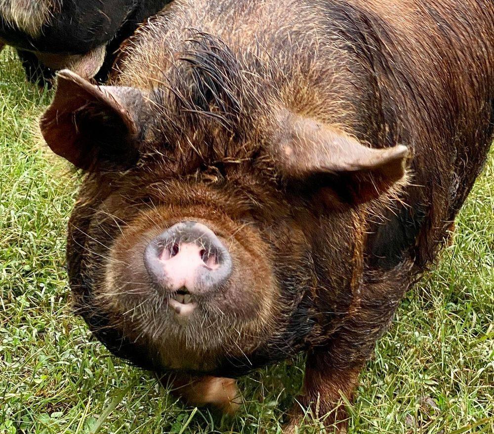 KuneKune Pigs for Sale In Virginia RONA