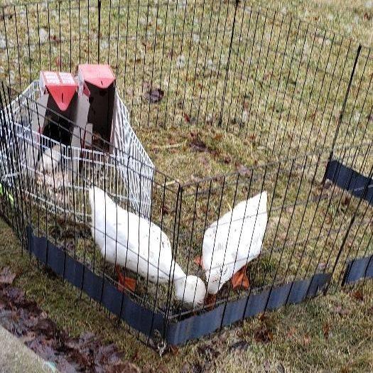 Cute ducks in a pen