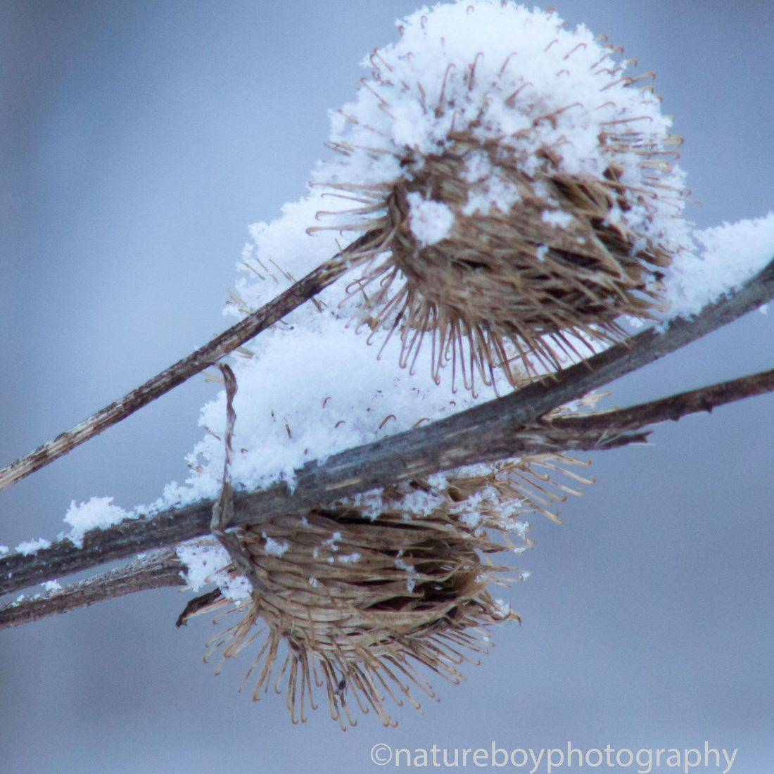 snow on thistle