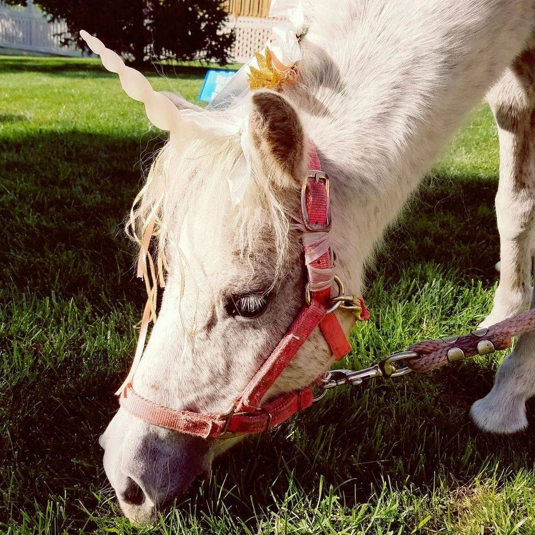 Small white unicorn mini horse eating grass