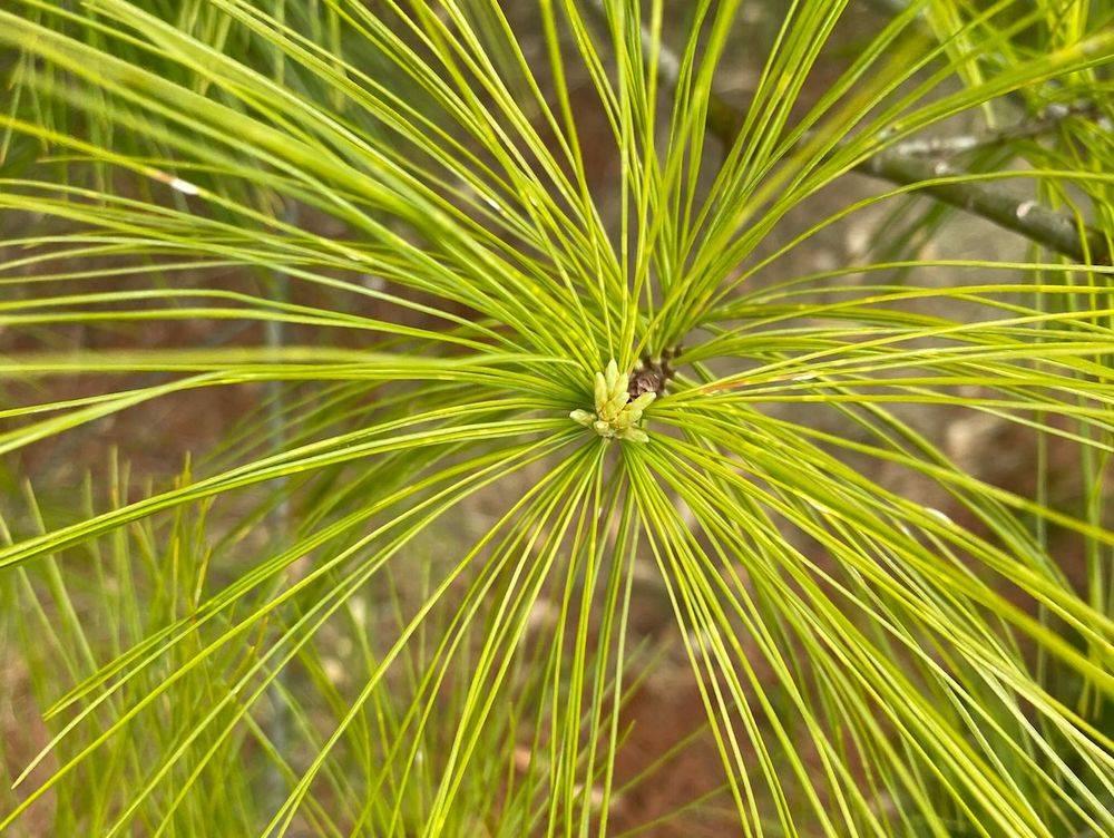 Pine Tree Chlorosis