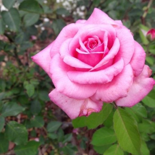 Pretty Pink Rose Photo by Kristen Brown