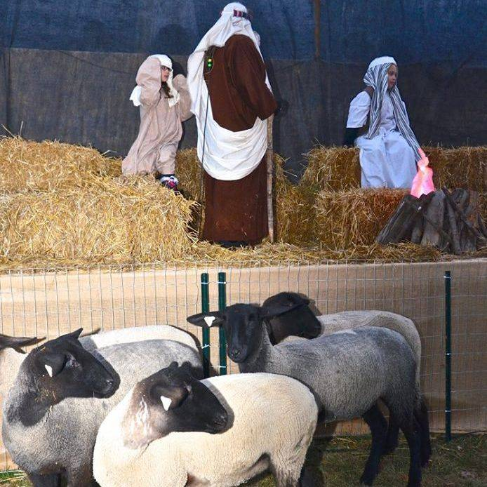 Sheep standing in front of nativity scene