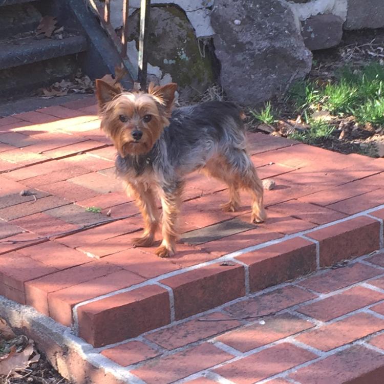 Photo of a Yorkie dog on red bricks