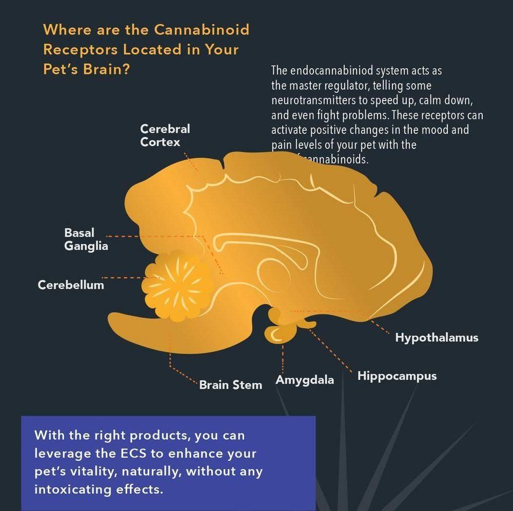 cbd in your pets brain