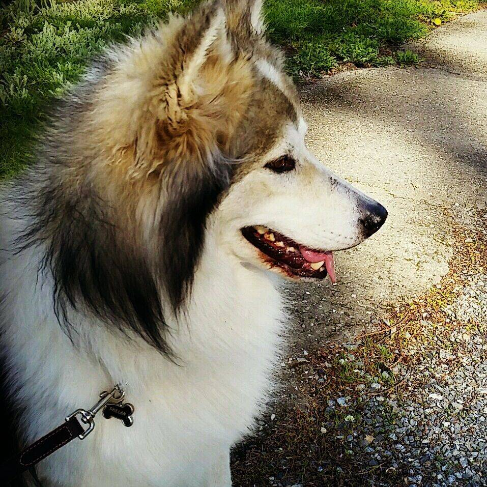dog, malamute, pure breed