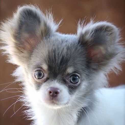 Long Haired Chihuahua Picture 2