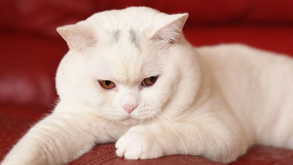 White British Shorthair