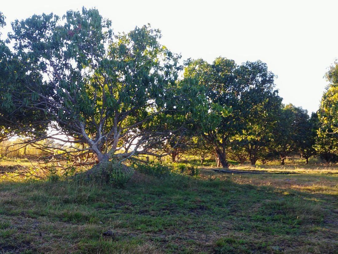 mango farm for sale in talugtug nueva ecija, rush sale 10 hectares mango farm in nueva ecija, british & far east traders, mango farm with mountain views of cuyapo