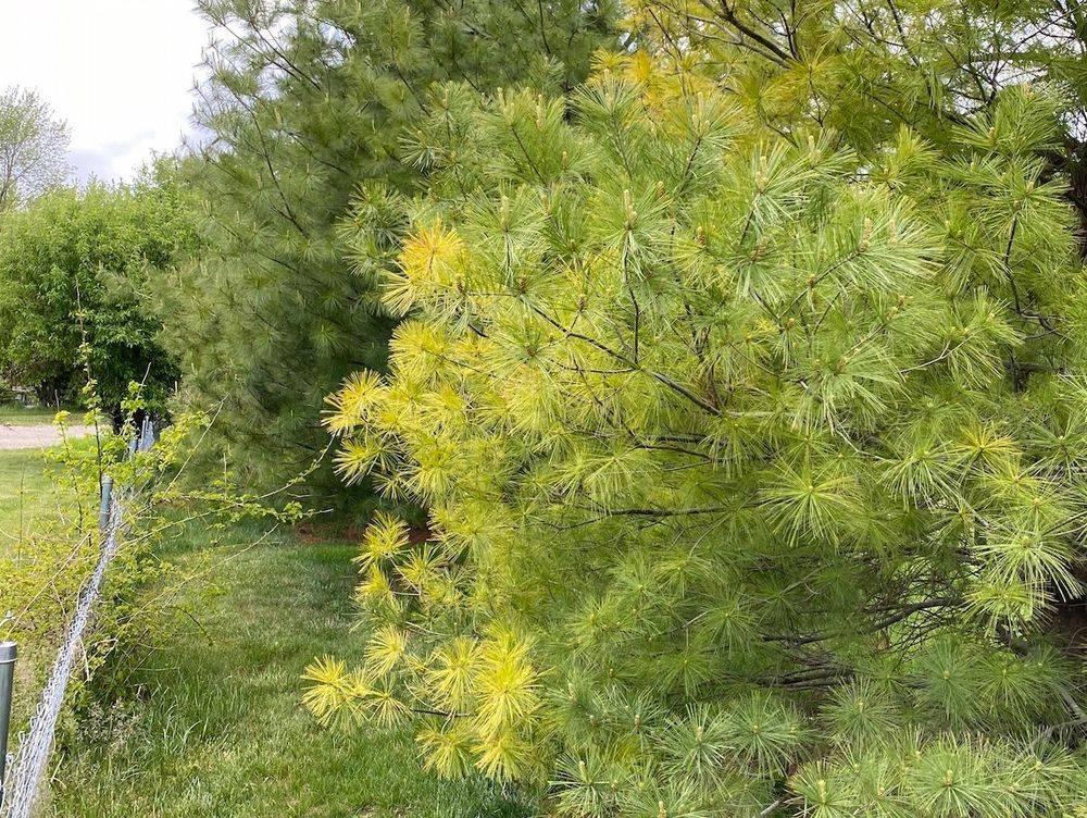Pine Wilt