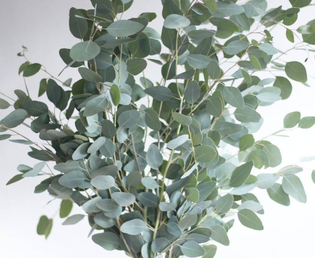 Eucalyptus, Essential oils, Fort Saskatchewan