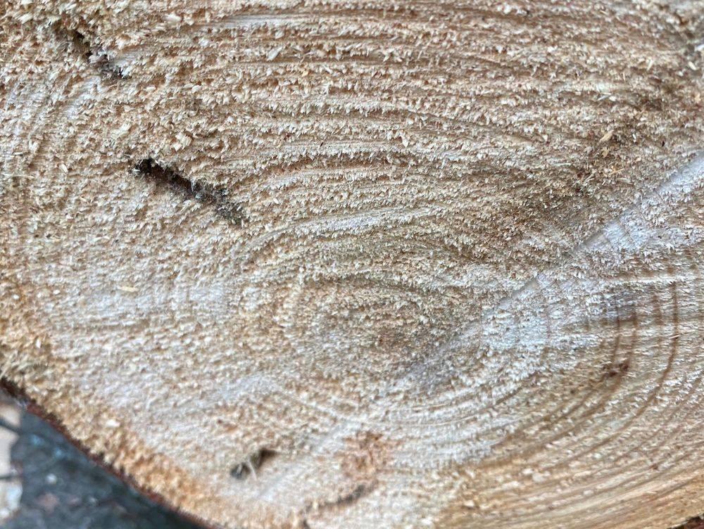 Pine Sawyer Beetle Cross Section