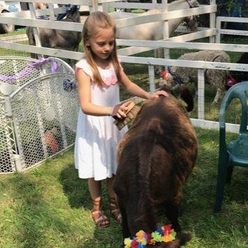 little girl brushing mini cow