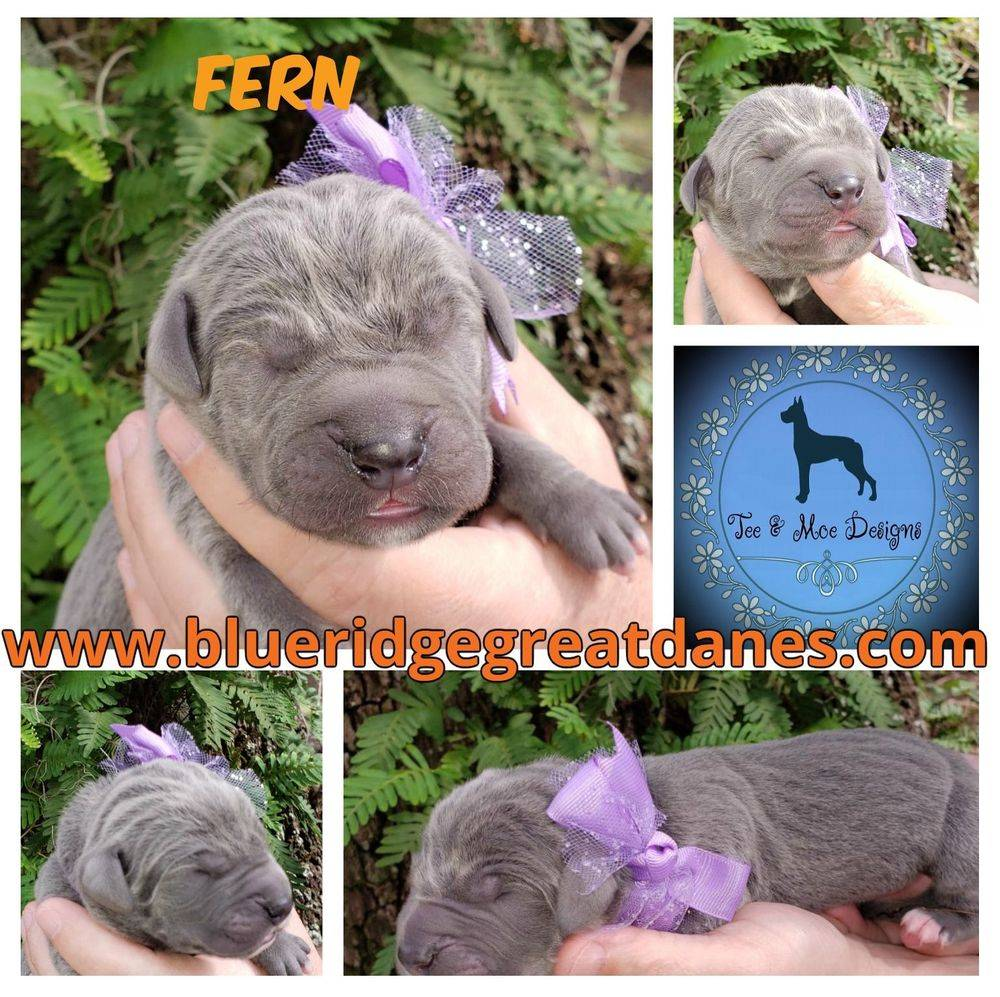 AKC registered Great Dane Puppy Blue Female