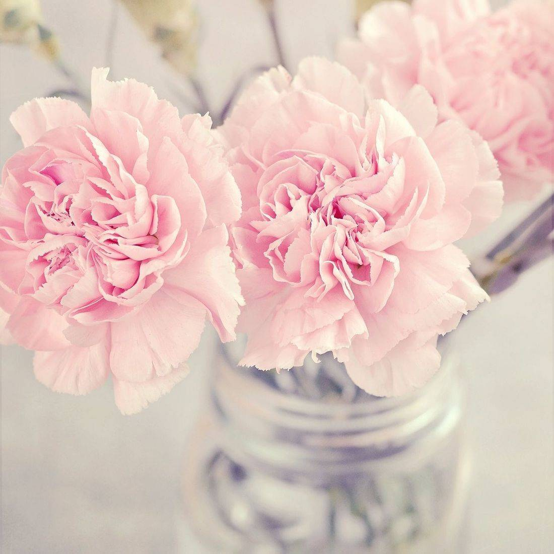 Fidelity, Wedding Flowers, Anniversary Flowers, January Flower, how can I help heal my relationship, flower remedy, pink carnations, what do carnations represent, flower therapy, how can I find my true love, finding my soul mate