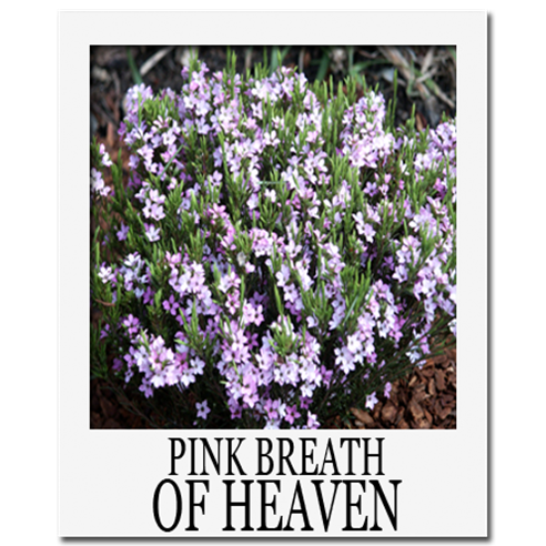 pink breath of heaven plant