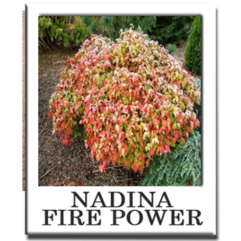 Nadina fire power sacramento nursery