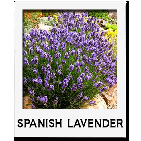 Spanish Lavender Sacramento Landscape
