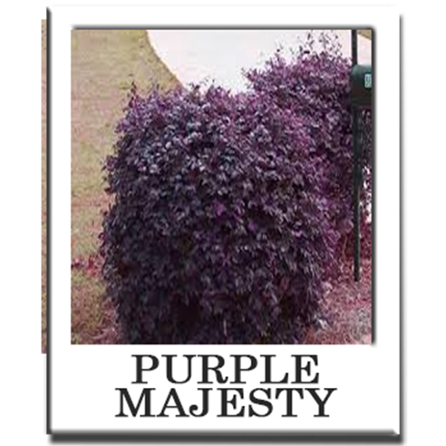 Purple Majesty Elk Grove Landscaping