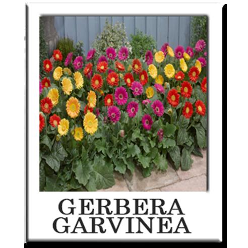 Gerbera garvinea creative falls gerber daisy plant